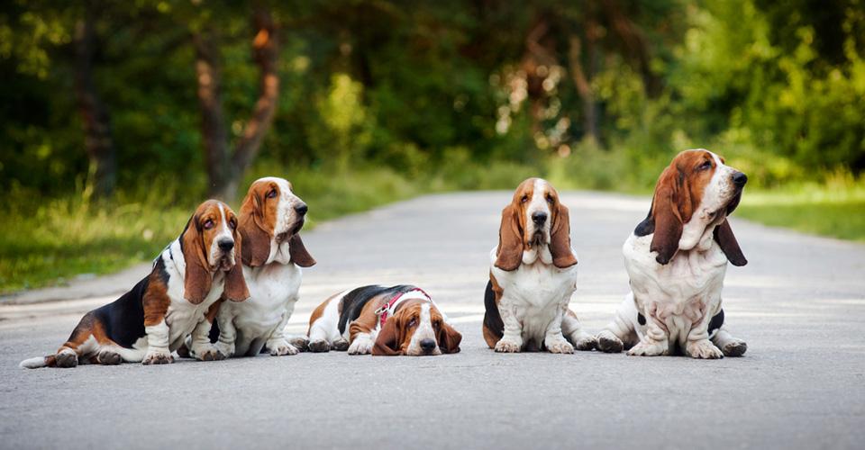 Rasgroep 6: Lopende honden en zweethonden