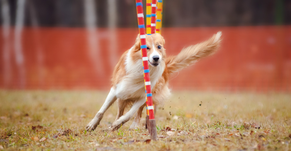 Agility / behendigheid