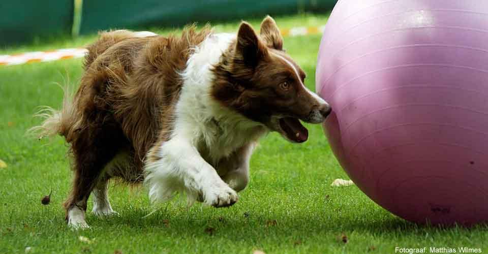 Treibball, een hondensport met een Nederlands tintje