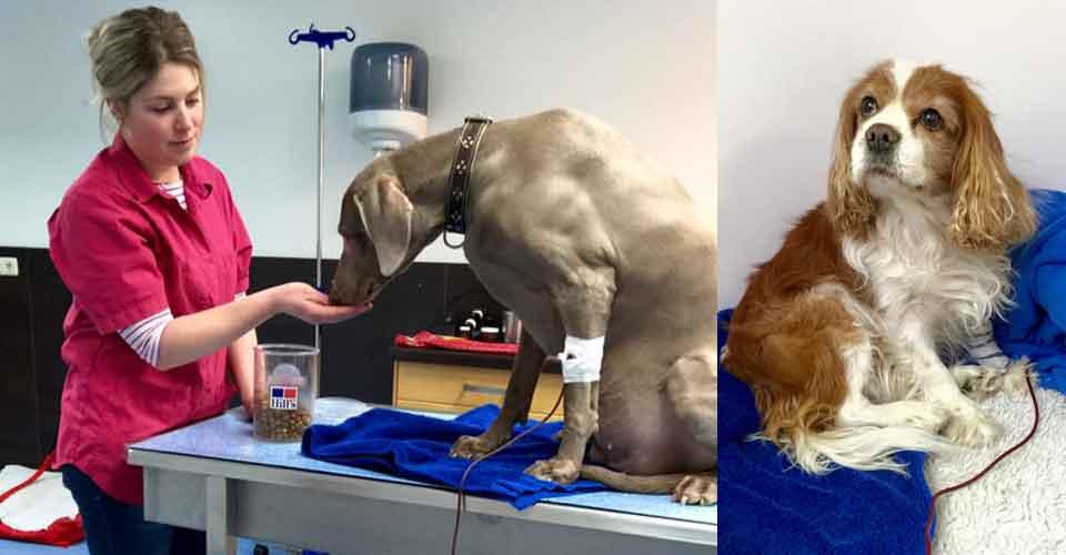 Bloeddonor Guus Transfuus redt andere honden